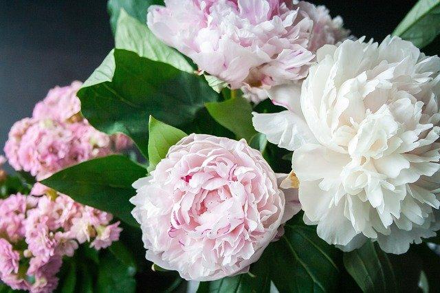 Fiori simili alle rose: Che piante sono le peonie? Come coltivarle?
